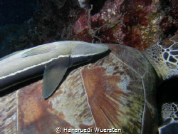 Remora on turtle - Remora remora by Hansruedi Wuersten
